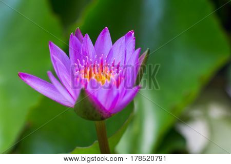 The Lotus Flower. Background is the lotus leaf and lotus flower and lotus bud and lotus flower.