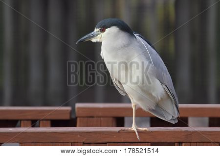 Black-crowned Night-Heron (Nycticorax) in the Florida Everglades