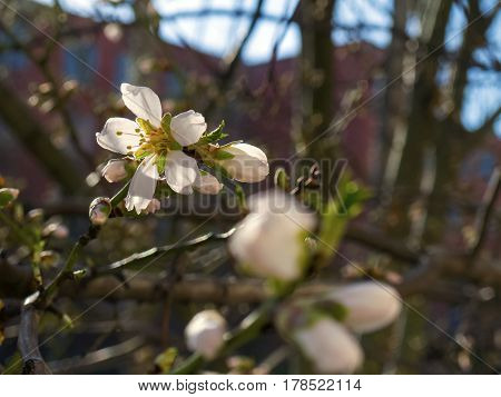 Nice blooming cherry flowers on the tree
