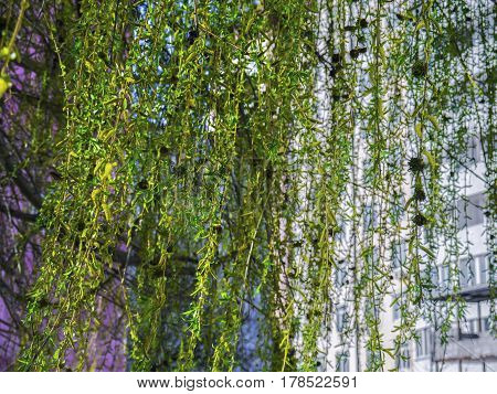 The weeping willow tree in the public yard