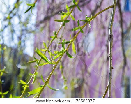 The green and blooming beautiful branch of willow