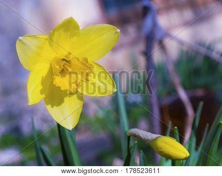 The beautiful blooming yellow daffodils in spring