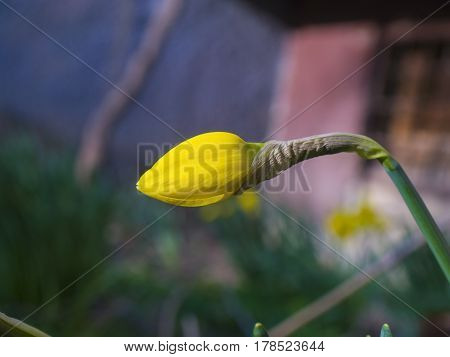 Beautiful untapped yellow daffodils on blured background
