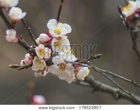 The blooming apricot tree branch with white flowers