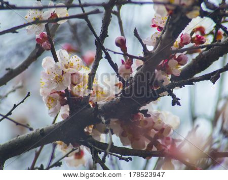 The blooming tree branch with apricot white flowers