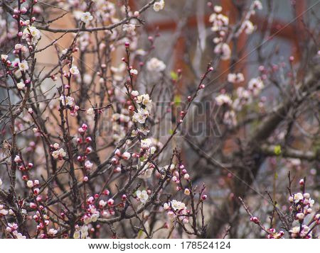The blooming tree branches with apricot white flowers