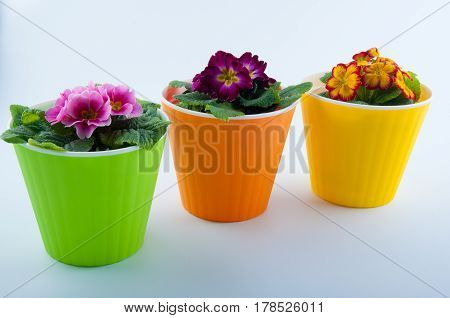 Composition of three pink magenta yellow primrose flowers in green orange plastic pots isolated on white