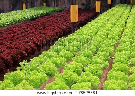 Rows Of Multicolor Lettuce In Greenhouse
