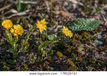 Young yellow spring flowers mother and stepmother
