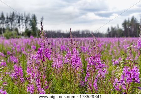 large field of blooming fireweed in the woods in summer, cloudy