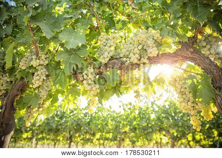 Grape Vines Plants with Intense Green Grape