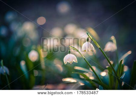 Beautiful spring flower with dreamy fantasy blurred bokeh background. Fresh outdoor nature landscape wallpaper. Leucojum vernom flower in full bloom.