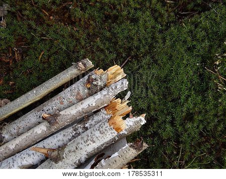 Birch of broken branches on green moss