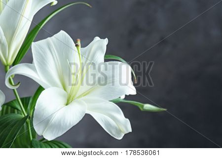 Beautiful white lilies on dark background