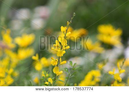 Cytisus Scorparius  An Invasive Species