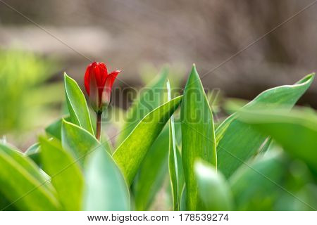 Red tulips in a spring garden - selective focus copy space
