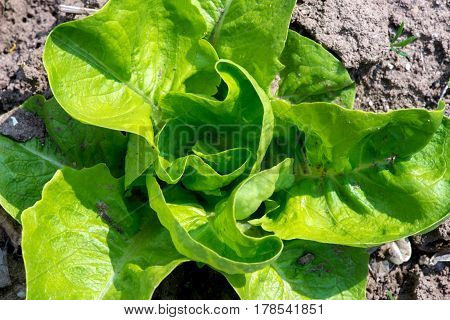 Fresh Lettuce In Early Spring Garden - Selective Focus