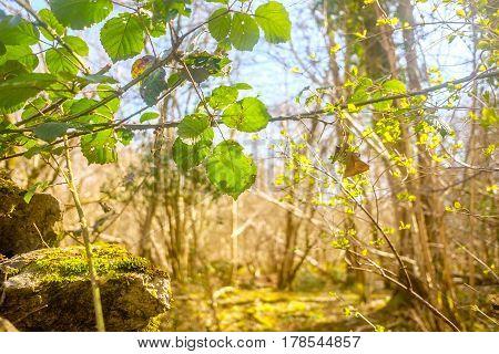 Bramble leaves Rubus fruticosus changing color in autumn