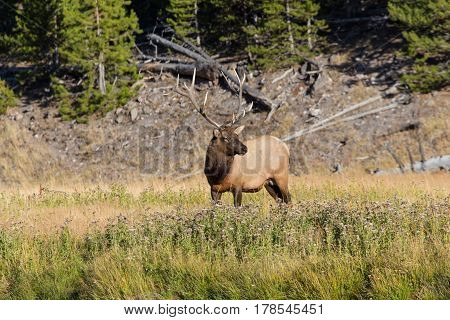 Bull elk with antlers standing near river edge in summer