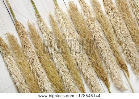 Dried fluffy cattail or typha flower texture background, top view on white wood. Absract floral composition