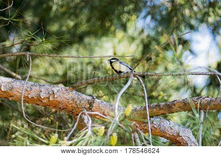 A bird sings sitting on a tree branch