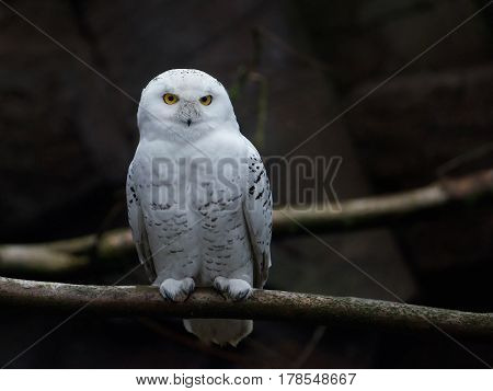 Snowy owl resting on a branch in its natural habitat