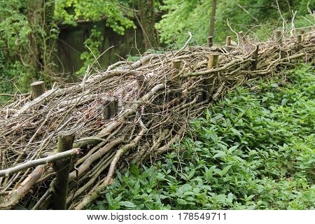 An Example of Hedge Laying as a Woodland Boundary.