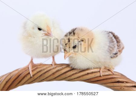 cute little chick on white background