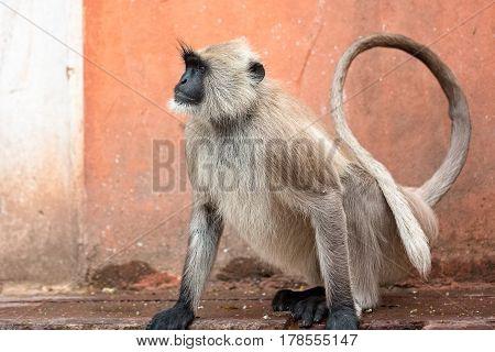 Monkey temple Galwar Bagh in Jaipur, India