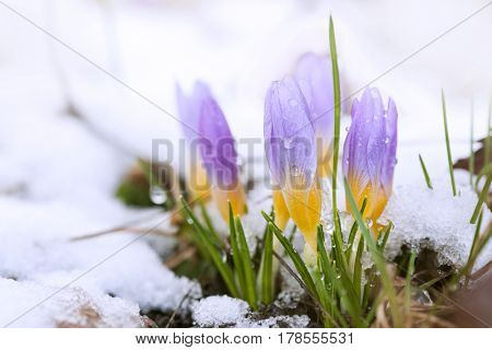 Crocus in the snow-covered garden