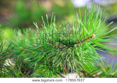 Pine tree brunch with green cone. Macro photo