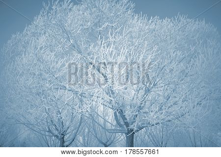 Winter trees covered with a thick layer of frost.