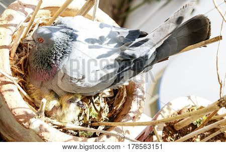 A pigeon with its kid hidden within its wings inside a pot
