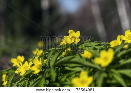 Blossoming in the spring of forest flowers