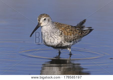A Dunlin, Calidris alpina in breeding plumage stands in a shallow pond in springtime