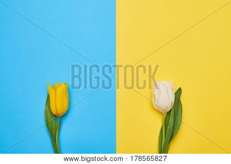 Flatlay view of two distant spring tulips on a blue and yellow flatlays