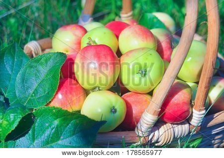 small juicy apples in a basket on a green lawn