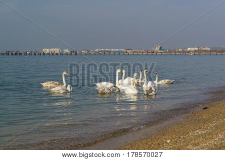 A flock of swans mute (lat. Cygnus olor) is a bird of the duck family - wintering in the black sea off the coast of Anapa. Russia