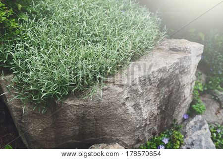 Landscape design, decorative plant. Rosemary herb growing in garden outdoors, copy space, abstract natural green background