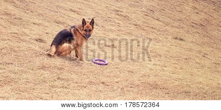 A sentry dog with a toy walks in nature she sits on the grass a very cute German shepherd