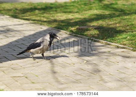 Grey crow (lat. Corvus cornix) with production on track in a city Park