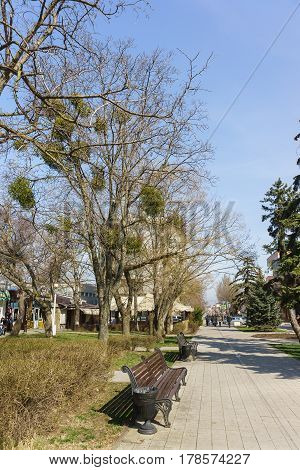 Anapa Krasnodar Krai Russia - March 08.2017: Tree with parasitic plant Mistletoe