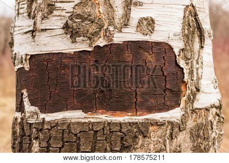 A birch texture with a peeled bark in nature is very much interesting for example the texture of this birch trunk