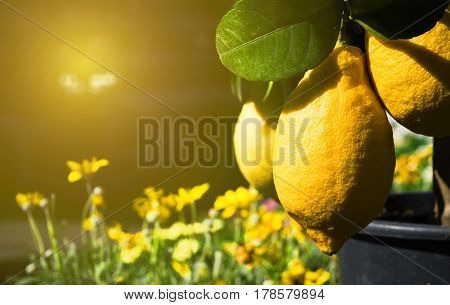 juicy yellow beautiful testy lemons growing on the tree sunlit on the summer day