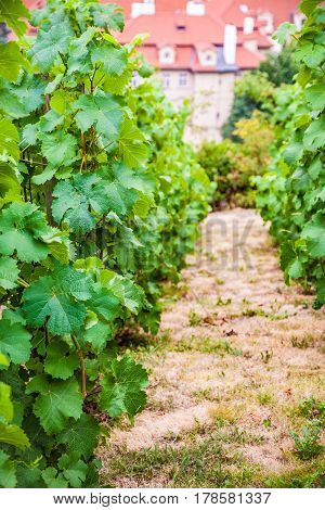 Vineyard. Grape leaves in France. The beggining of season