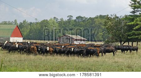 Herd of cows in the field on a hot humid day