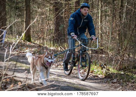 Kaliningrad Russia March 26 2017 local bikejoring and cannicross championship. Cyclist musher with husky