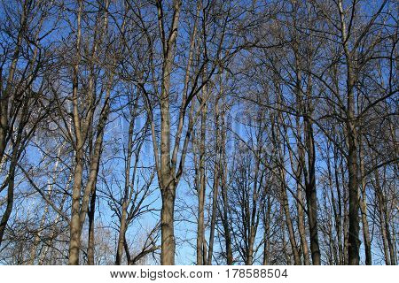 Trees in spring forest on blue sky
