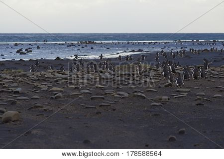 Large numbers of Gentoo Penguins (Pygoscelis papua) walking across a beach before heading out to sea to feed. Sealion Island in the Falkland Islands.
