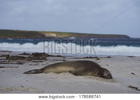 Southern Elephant Seal (Mirounga leonina) sleeping on a sandy beach on Sealion Island in the Falkland Islands.